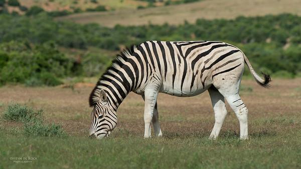 Plains Zebra 5, Addo Elephant Park, EC, SA, Dec 2013