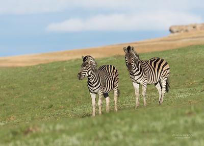 Plains Zebra, Goldengate NP, FS, SA, Oct 2016-2