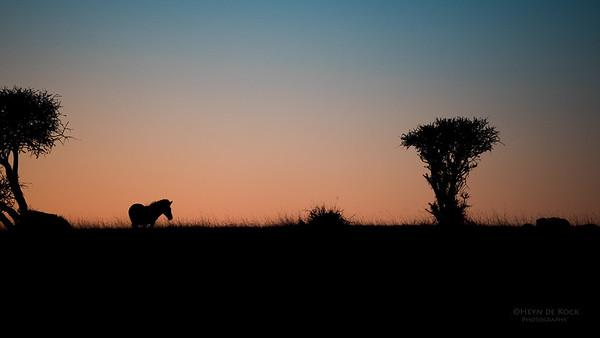 Burchell's Zebra, Mashatu GR, Botswana, May 2017-3
