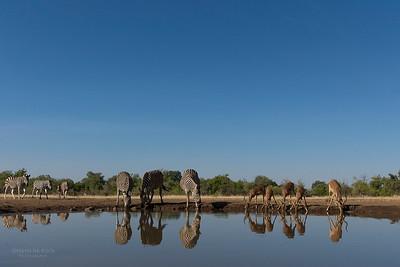 Burchell's Zebra & Impala, Mashatu GR, Botswana, May 2017-1