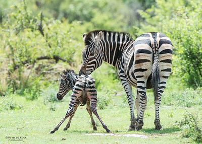 Plains Zebra & foal, Pilansberg National Park, SA, Dec 2013-3