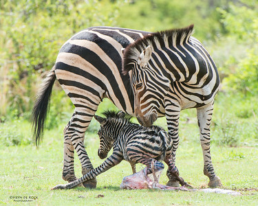 Plains Zebra & foal, Pilansberg National Park, SA, Dec 2013-4