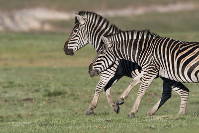 Plains Zebra, Goldengate NP, FS, SA, Oct 2016-6