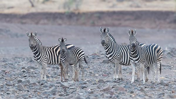 Burchell's Zebra, Mashatu GR, Botswana, May 2017-2