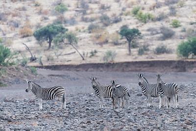 Burchell's Zebra, Mashatu GR, Botswana, May 2017-1