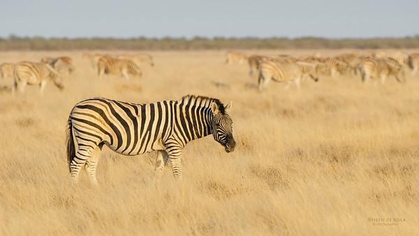 Plains Zebra, Etosha NP, Namibia, July 2011