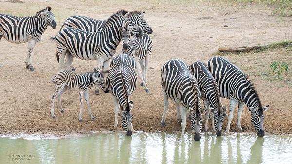 Plains Zebra, Mkuze GR, KZN, SA, Jan 2014-2