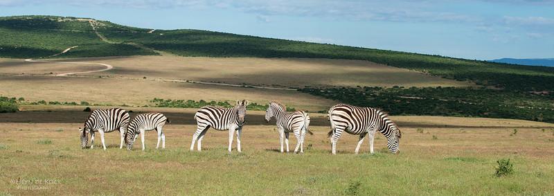Plains Zebra, Addo Elephant NP, EC, SA, Dec 2013