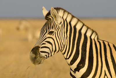Plains Zebra, Etosha NP, Namibia, July 2011-1