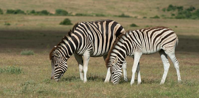 Plains Zebra & foal 3, Addo Elephant Park, EC, SA, Dec 2013