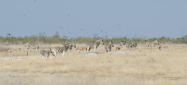 Plains Zebra & Springbuck, Etosha NP, Namibia, July 2011