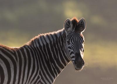 Plains Zebra, Goldengate NP, FS, SA, Oct 2016-3