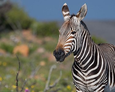Cape Mountain Zebra, Cape of Good Hope NP, SA, Sept 2016-