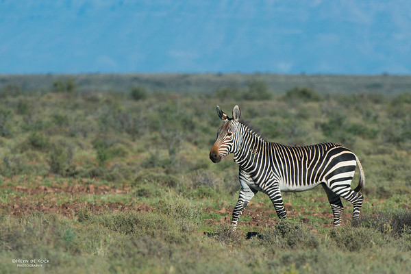 Cape Mountain Zebra, Karoo NP, WC, SA, Jan 2014-3