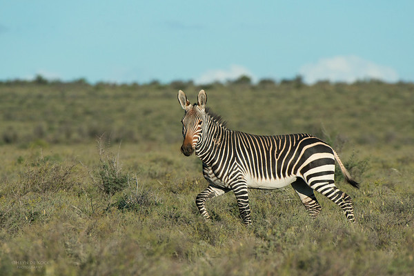 Cape Mountain Zebra, Karoo NP, WC, SA, Jan 2014