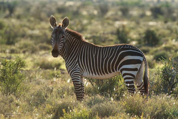 Cape Mountain Zebra, Karoo NP, WC, SA, Jan 2014-1