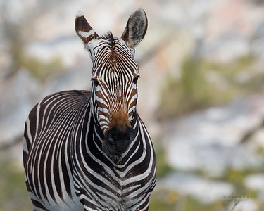 Cape Mountain Zebra, Cape of Good Hope NP, SA, Sept 2016-1