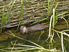 03 July 2011. Eurasian Otter (Lutra lutra) at Marwell Wildlife. Copyright Peter Drury 2011