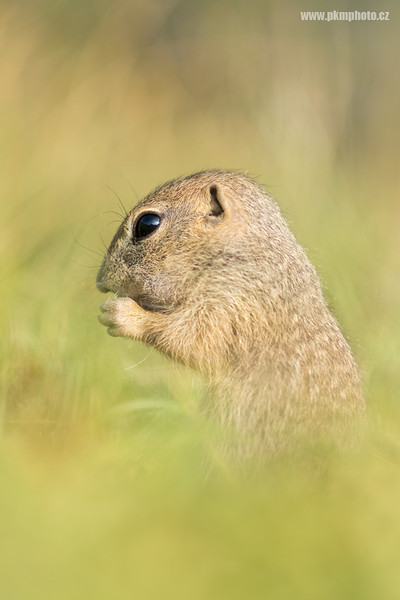 European Ground Squirrel (Sysel obecný)