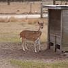 Axis doe deer