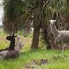Llamas_SS6893