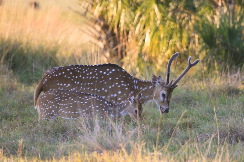 Axis buck deer