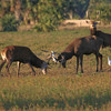 Red Stag bucks fighting