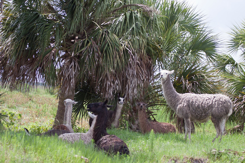 Llamas_SS6900