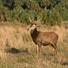 Red Stag buck