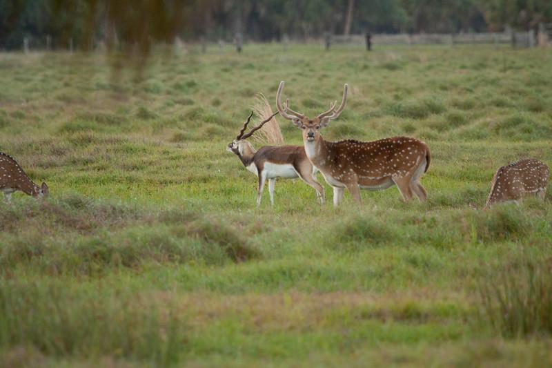 Axis Deer_SS2058