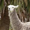 Llamas_SS6895