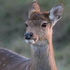 Red Stag fawn