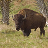 Bison on a ranch in Florida