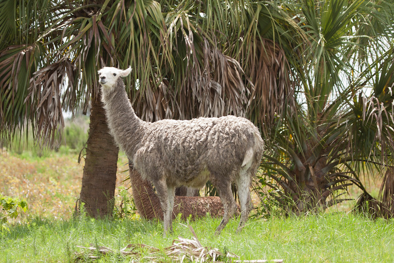 Llamas_SS6896