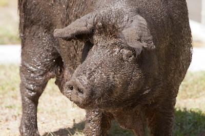 Other Farm Animals