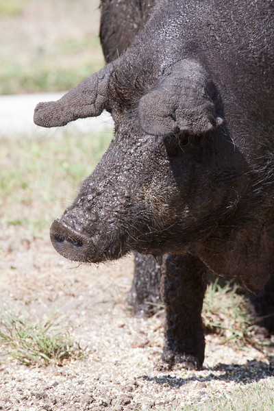 Pig_SS3782