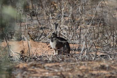 European (Feral) Rabbit