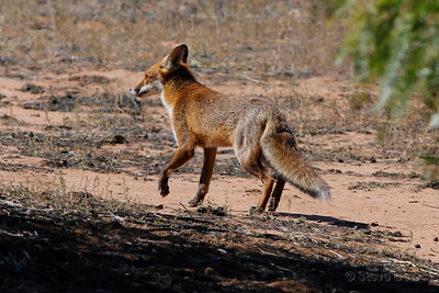 Red (Feral) Fox