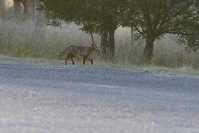 Foxey Loxey