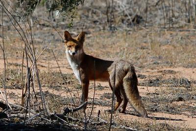 Red (Feral) Fox Red Fox