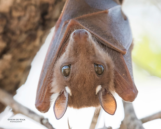 Wahlberg's Epauletted Fruit-bat, Sabi Sands (EP), SA, Oct 2016-1a