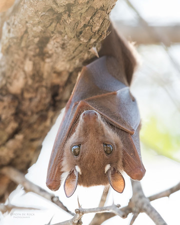 Wahlberg's Epauletted Fruit-bat, Sabi Sands (EP), SA, Oct 2016-1