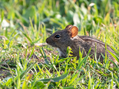 20190525 Four-Striped Mouse (Rhabdomys pumilio) in Tygerberg Nature Reserve