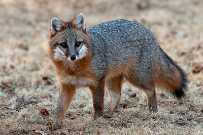 Gray Fox - Dunning Lake - Itasca County, MN