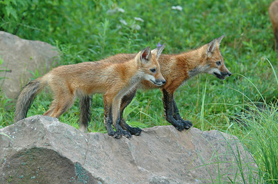 Red Fox Kits - Pine County, MN