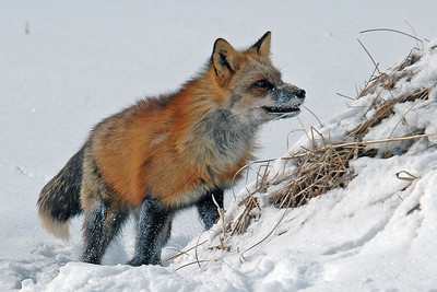 Red Fox - Pine County, MN