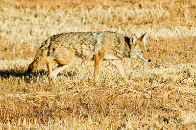 Coyote - Bosque Del Apache NWR - NM