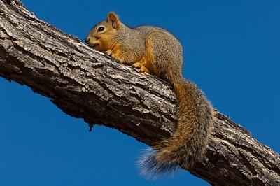 Fox Squirrel-185