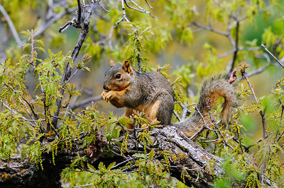 Fox Squirrel-4178