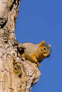 Fox Squirrel-113